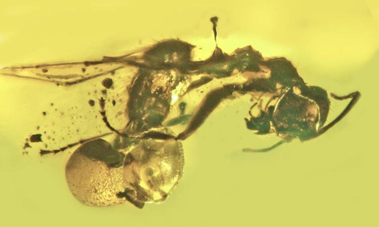 Xác kiến thợ mộc cùng nấm ký sinh trong mảnh hổ phách ở Baltic. Ảnh: George Poinar Jr./OSU.