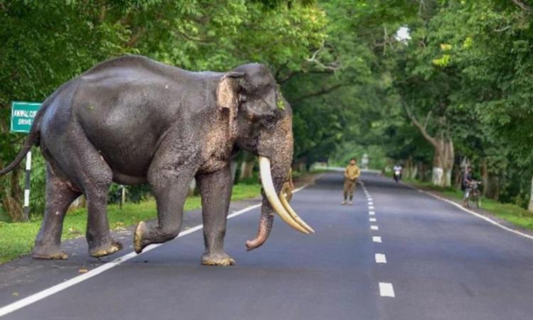 Một con voi băng qua đường ở Ấn Độ. Ảnh: PTI.