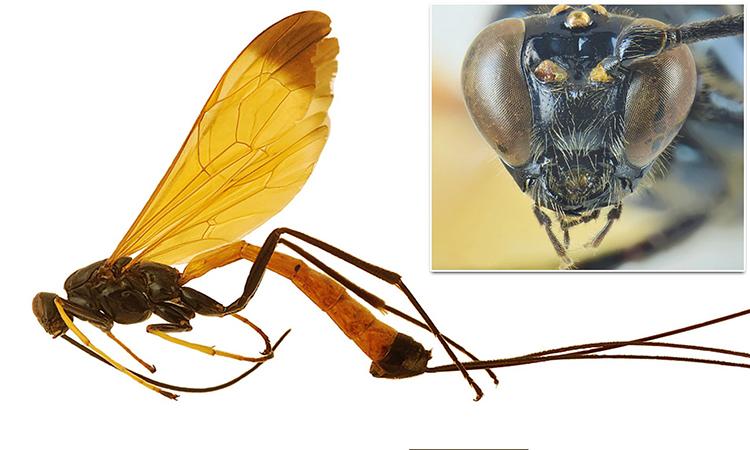 Ong bắp cày Dolichomitus meii mới được phát hiện trong rừng Amazon. Ảnh: Filippo De Giovanni.