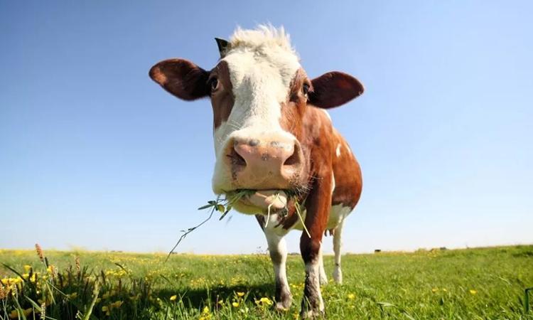 Vi khuẩn trong dạ dày bò có thể phân hủy nhựa tổng hợp. Ảnh: Marcel ter Bekke.