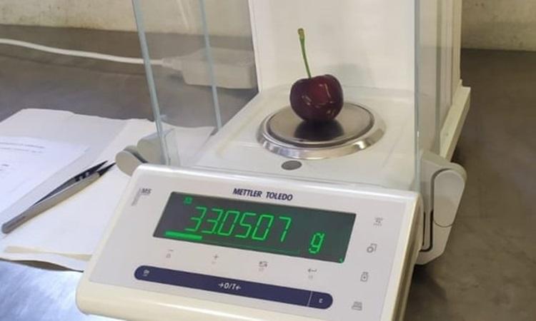 Quả cherry nặng 33 gam được thu hoạch ở vùng Piedmont, Italy. Ảnh: Guinness World Records.
