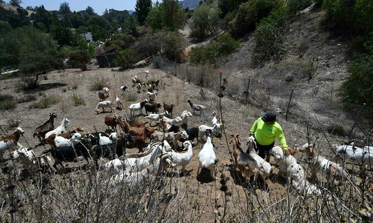 California hoan nghênh chăn thả dê để chống cháy rừng. Ảnh: AFP.
