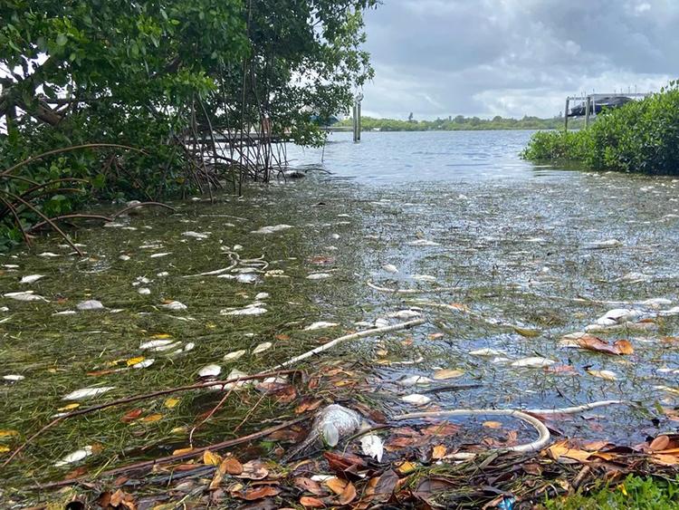 Cá và lươn chết do thủy triều đỏ tại St.Petersburg, Florida. Ảnh: Eric Higgs.