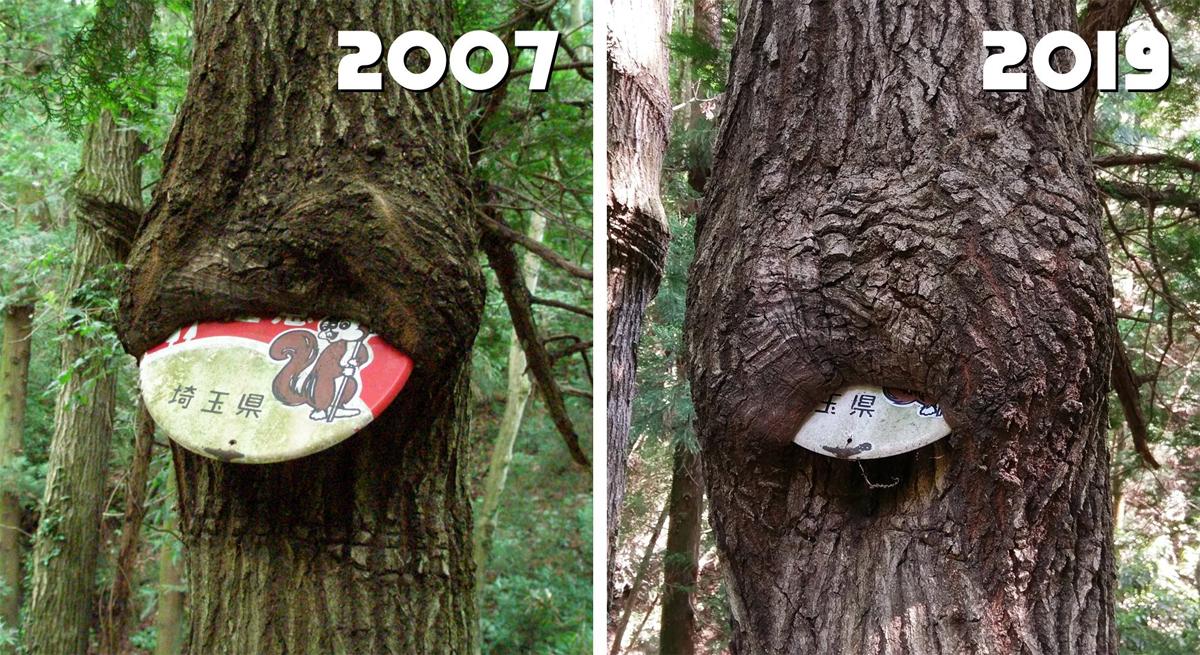 Sau 12 năm, thân cây sắp nuốt hết biển báo trong khu rừng ở Makinouchi, Nhật Bản. Ảnh: Nanorekawa
