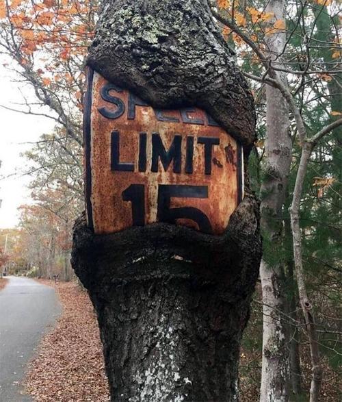Biển báo giới hạn tốc độ trên thân cây bên đường đã gỉ sét và bị nuốt một phần. Ảnh: JebidiahBeetus