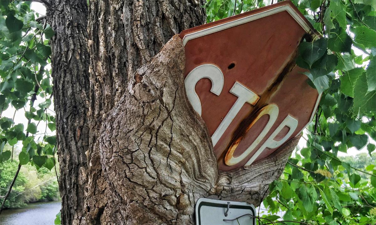 Biển báo Dừng lại không còn nguyên vẹn với một phần đã biến mất vào thân cây. Ảnh: KNCO