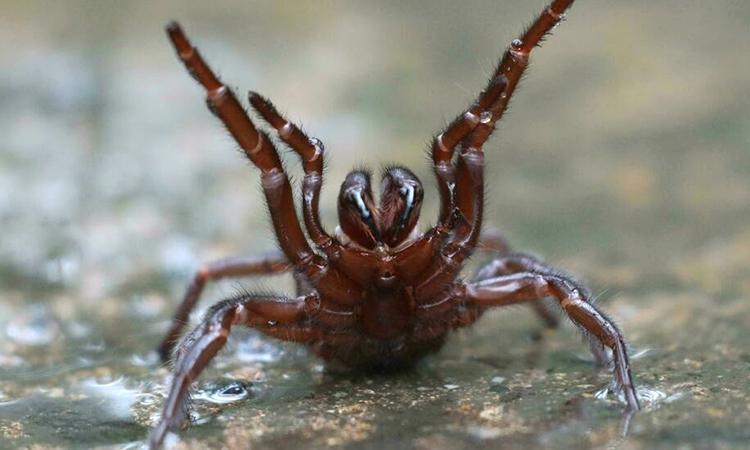 Nhện mạng phễu là một trong những nhóm nhện độc nhất thế giới. Ảnh: AFP.