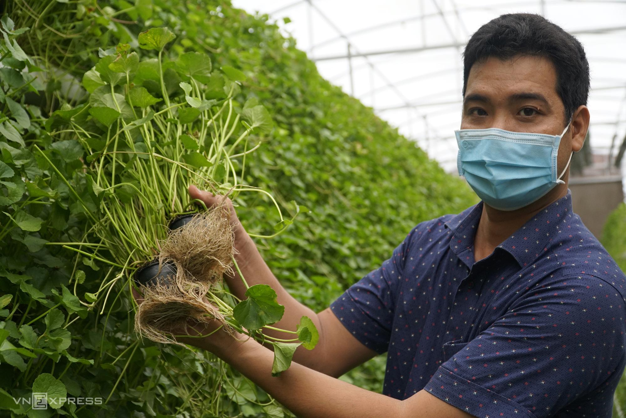 Trở về quê nhà khởi nghiệp với loại rau hoang dã rau má vườn đã được anh Beo ấp ủ từ nhiều năm trước. Ảnh: Ngọc Tài