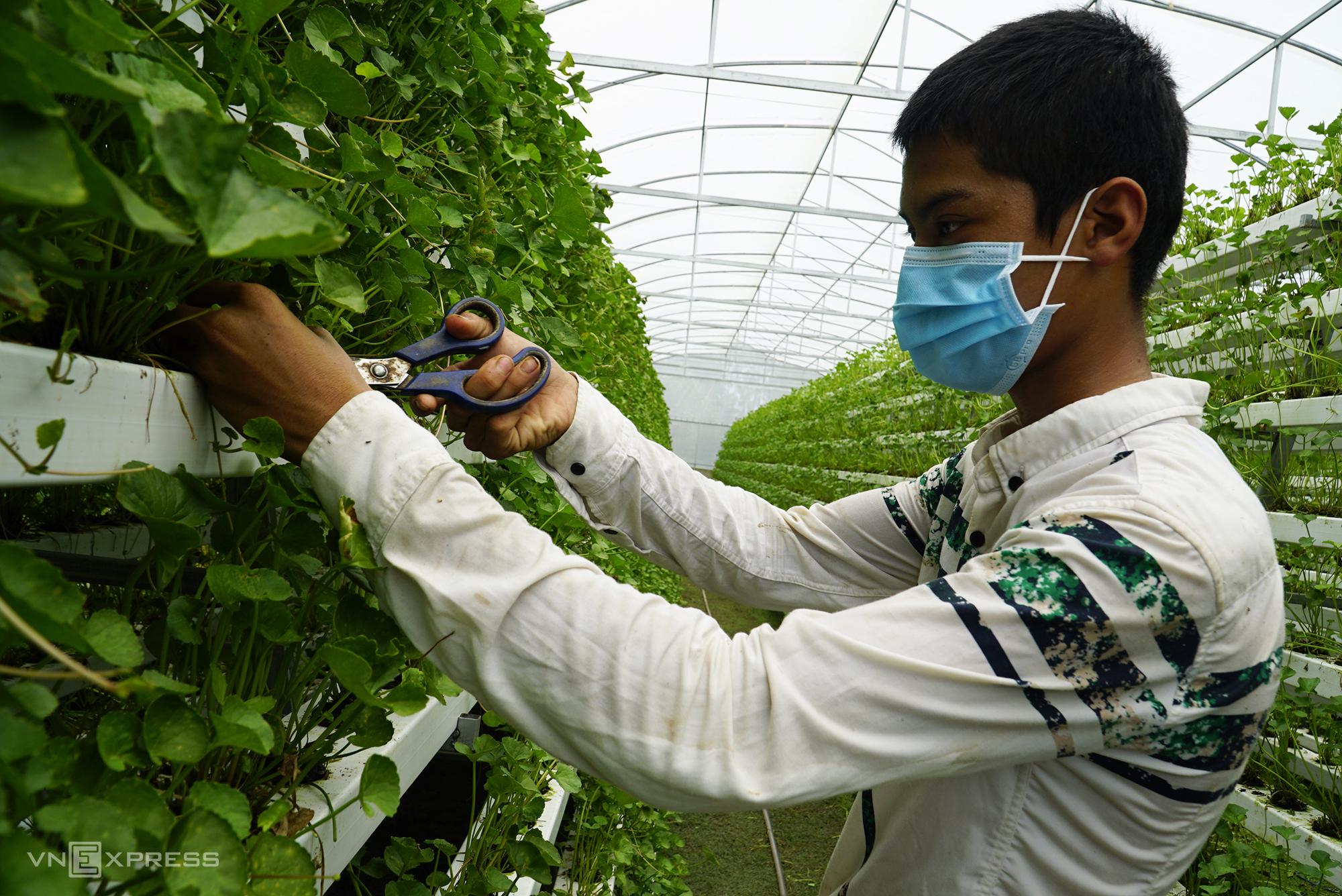 Nhân công thu hoạch rau má tại vườn, trung bình mỗi ngày thu 100 kg. Ảnh: Ngọc Tài
