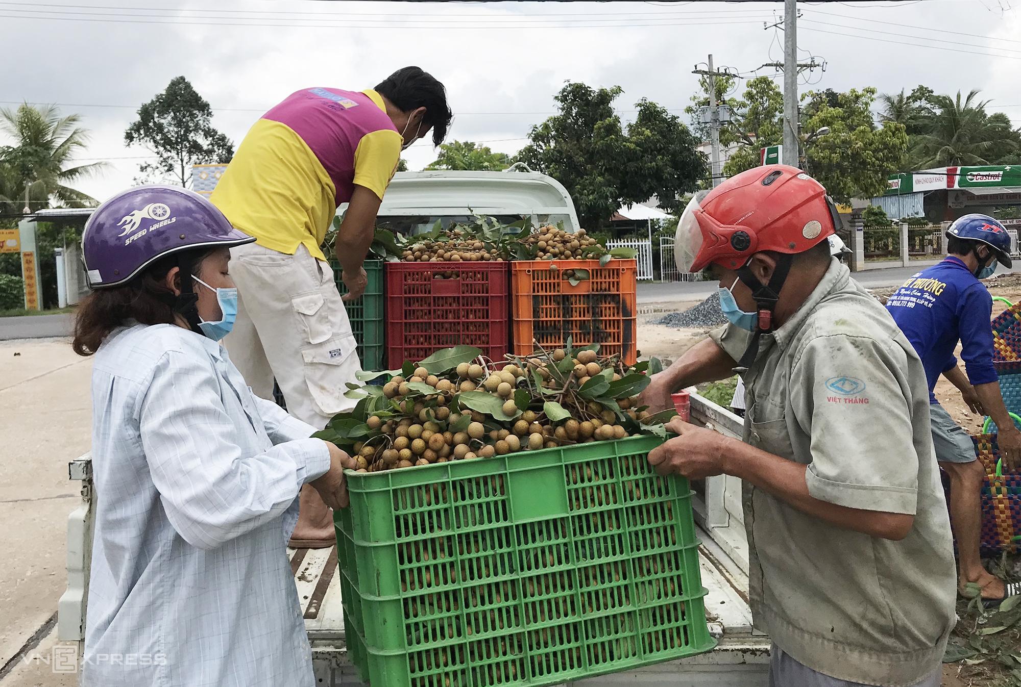 Những nhà vườn trồng nhãn may mắn tìm được đầu ra trong thời điểm này nhưng giá cũng rất thấp 8.000 đồng một kg. Ảnh: Ngọc Tài
