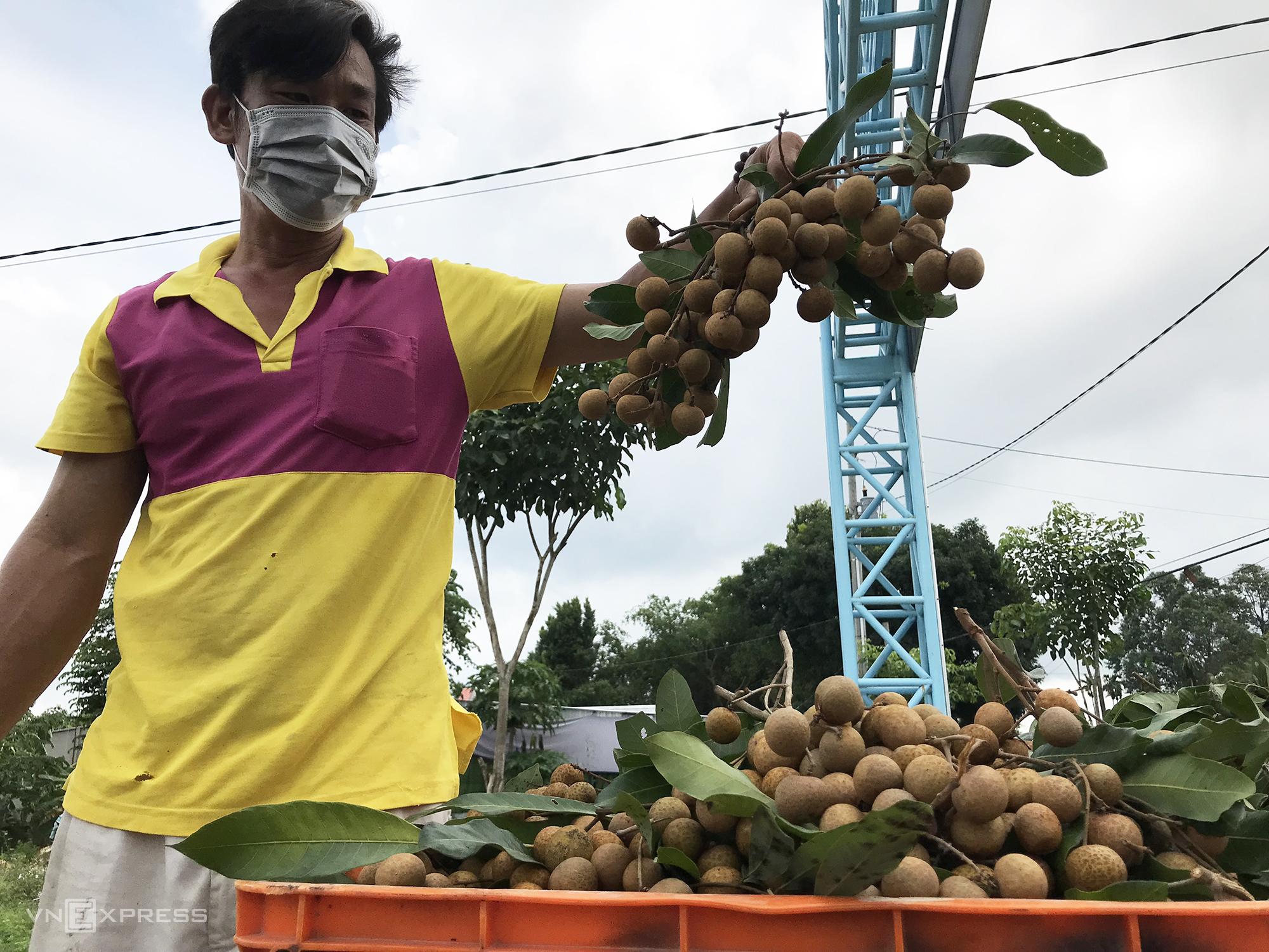 Anh Phạm Văn Nguyên cho biết giá bán dưới 8.000 một ký, trong khi chi phí sản xuất tăng, vụ này gia đình anh lỗ nặng. Ảnh: Ngọc Tài