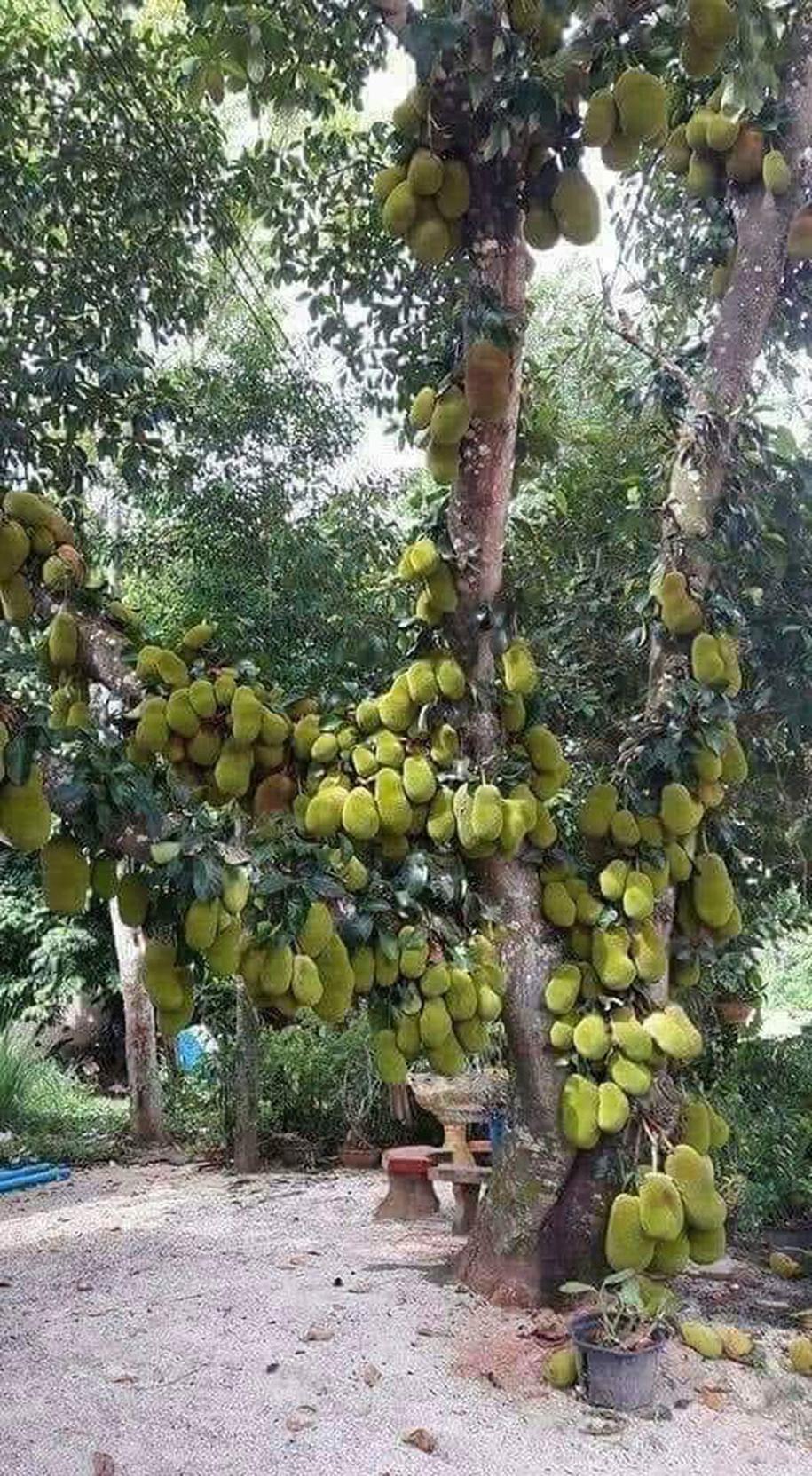 Cận cảnh cây mít trĩu quả.