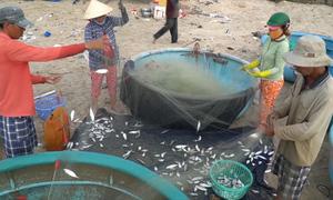 Nhộn nhịp mùa đánh cá trên thuyền thúng