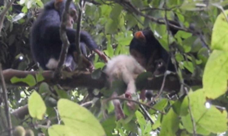 Xác của tinh tinh bạch tạng bị bỏ lại trên cây. Ảnh: Maël Leroux.