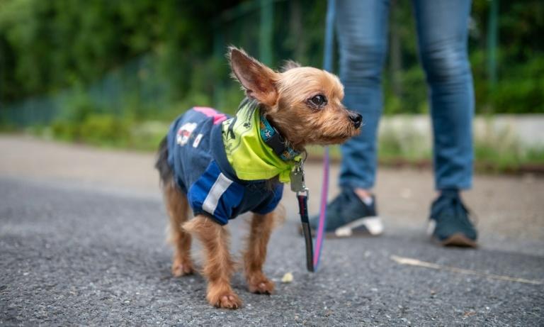 Một con chó cái 9 tuổi giống Yorkshire Terrier tham gia đội tuần tra Wan-wan tại Tokyo hôm 14/7. Ảnh: AFP.