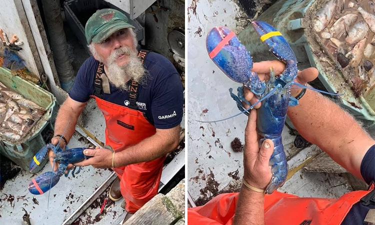 Toby Burnham chụp ảnh với tôm hùm xanh trước khi thả tự do cho con vật. Ảnh: Captain Joe and Sons.