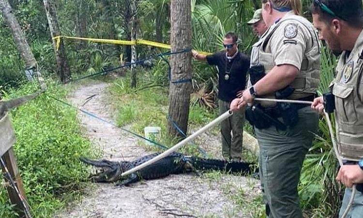 Các cán bộ động vật hoang dã bắt con cá sấu hung dữ. Ảnh: CNN.
