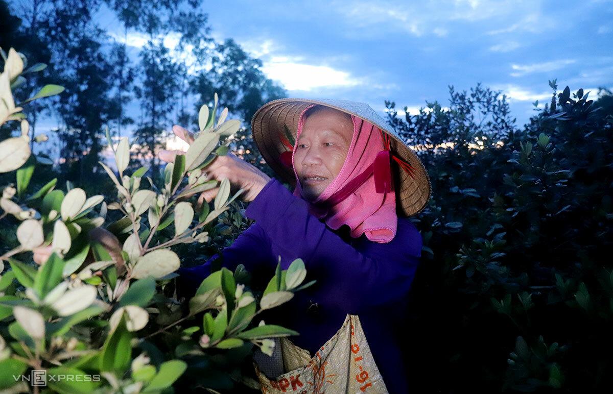 Người dân vạch từng kẽ lá tìm quả sim chín để hái, rạng sáng 21/6. Ảnh: Đức Hùng