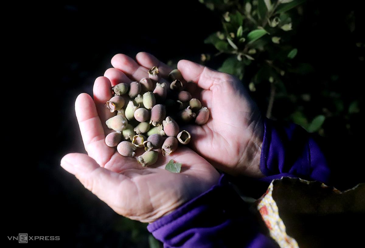 Do nhiều người hái liên tục, sim tại đồi ở xã Thạch Ngọc chỉ còn quả mơ và xanh, ít quả chín mọng. Ảnh: Đức Hùng