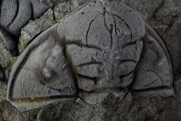 Hóa thạch bọ ba thùy từng bị bọ cạp biển tấn công. Ảnh: International Journal of Paleopathology.