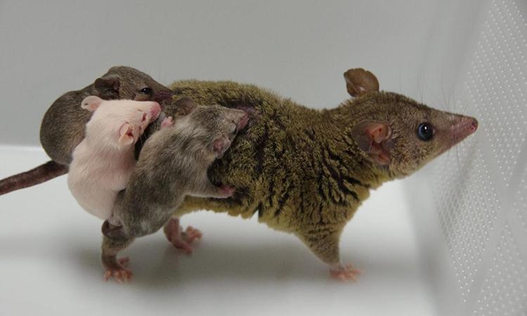 Những con chồn opossum đầu tiên được tạo ra bằng kỹ thuật chỉnh sửa gene. Ảnh: RIKEN.
