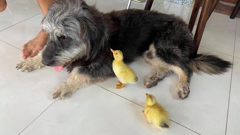 Hai con vịt luôn bám sát chú chó.