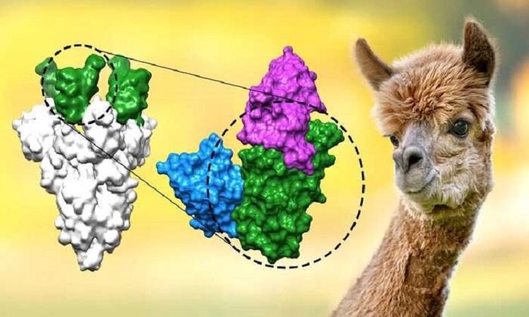 Kháng thể nano mới (màu xanh trắng) bám vào với miền liên kết thụ thể trên gai protein của nCoV. Ảnh: Hiệp hội Max Planck.