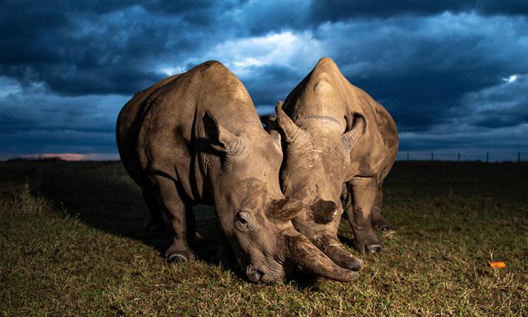 Cặp tê giác trắng phương Bắc cuối cùng còn tồn tại trên hành tinh. Ảnh: Gurcharan Roopra.