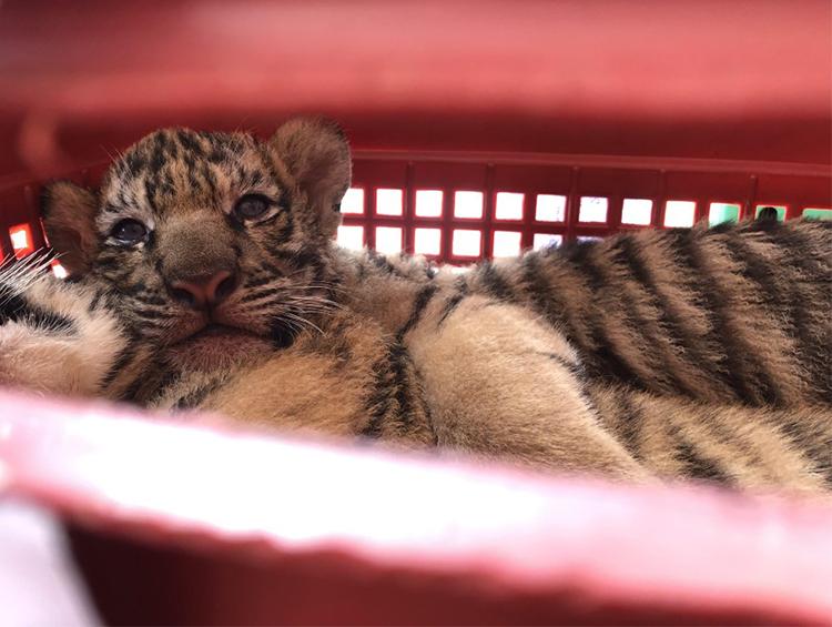Một trong số các con hổ được giải cứu. Ảnh: Công an