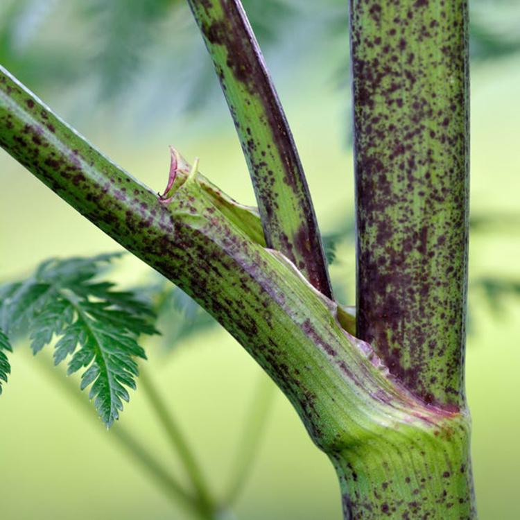Thân và cuống lá của cây sâm độc có đốm màu tím đặc trưng. Ảnh: Bộ Nông nghiệp Mỹ.