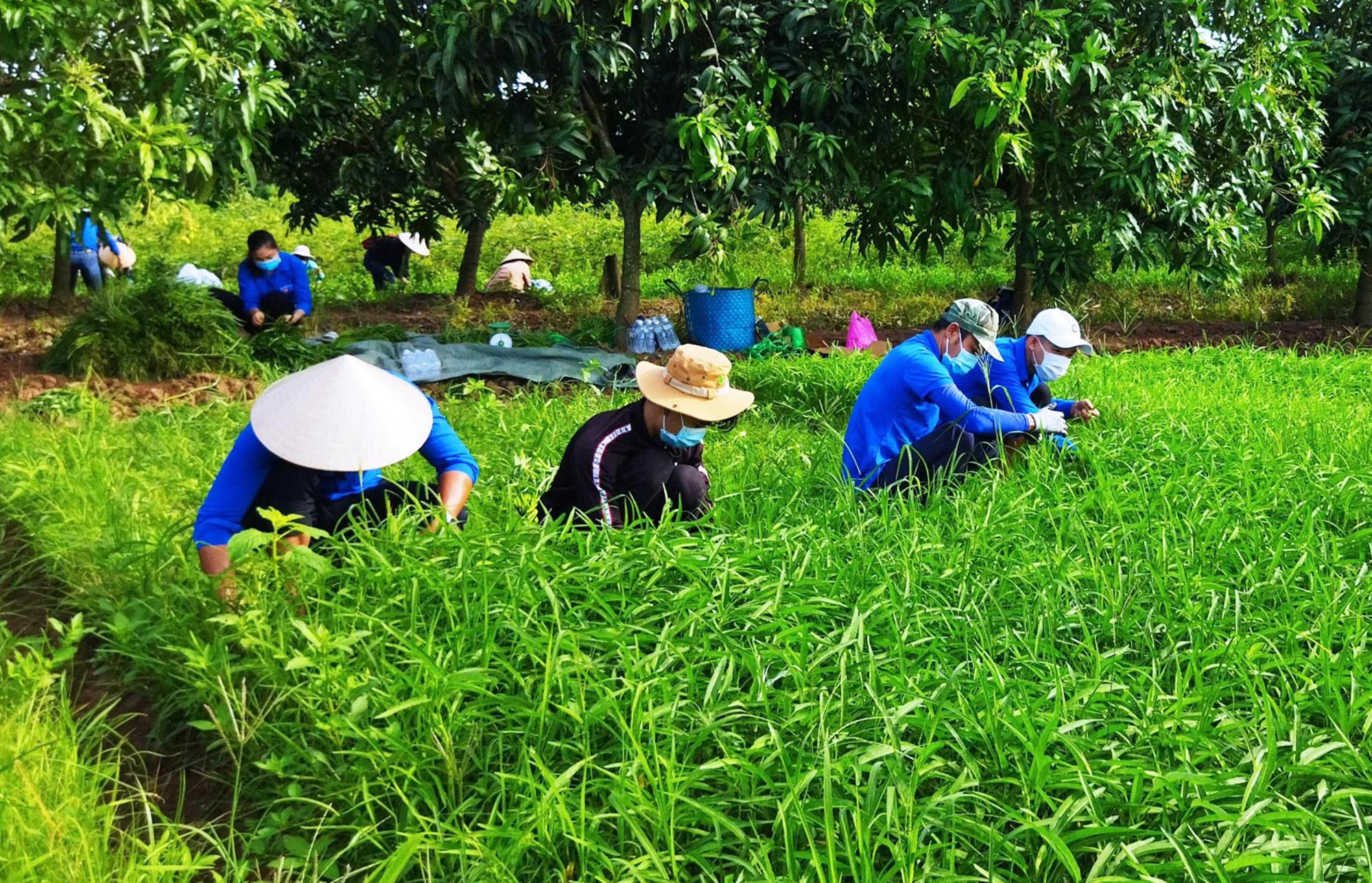 Nhóm đoàn viên ở thành phố Cao Lãnh cắt rau muống giúp dân bị phong toả. Ảnh: Linh Lê