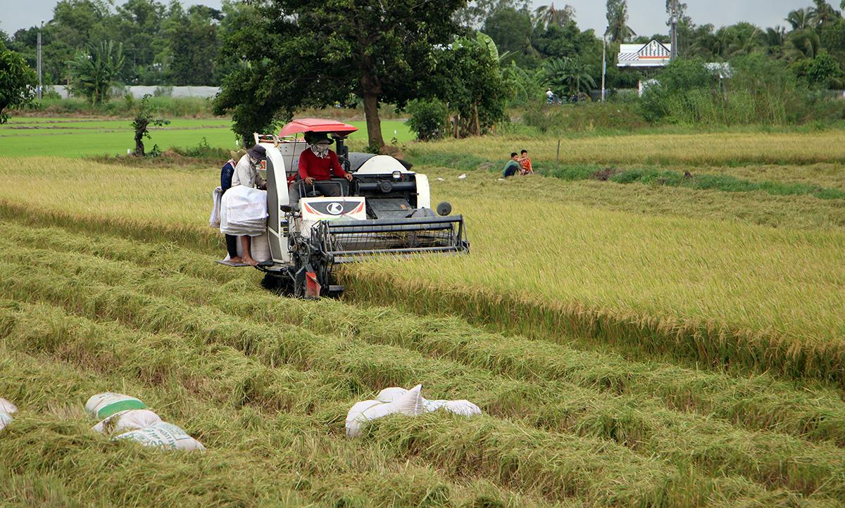 Thu hoạch lúa Hè Thu bằng máy gặt đập liên hợp  tại huyện Thới Lai, TP Cần Thơ. Ảnh: Cửu Long