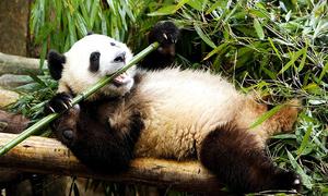 Vì sao gấu trúc béo ú dù chỉ ăn tre trúc?