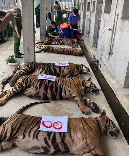 Một số con hổ thời điểm đang được gây mê để kiểm đếm. Ảnh:Viện kiểm sát Nghệ An.