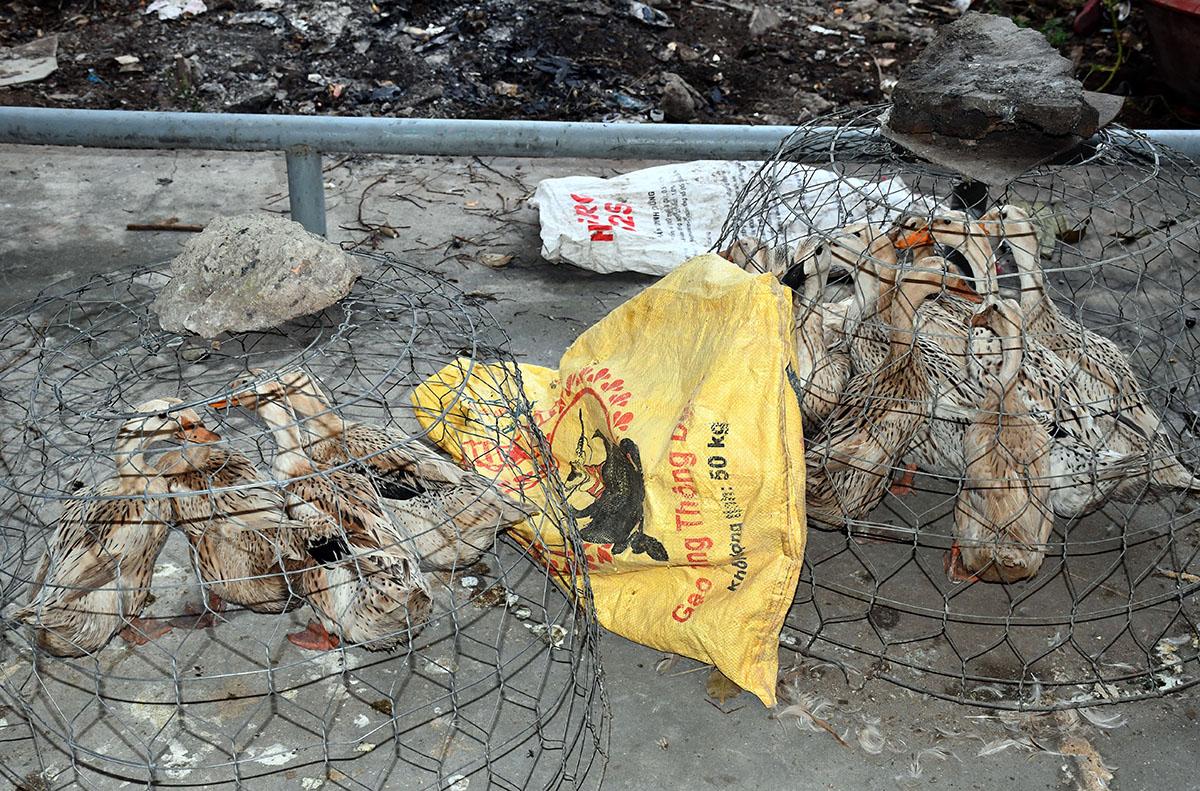 Cảnh sát thu hồi 15 con vịt bị cướp. Ảnh: Châu Thành
