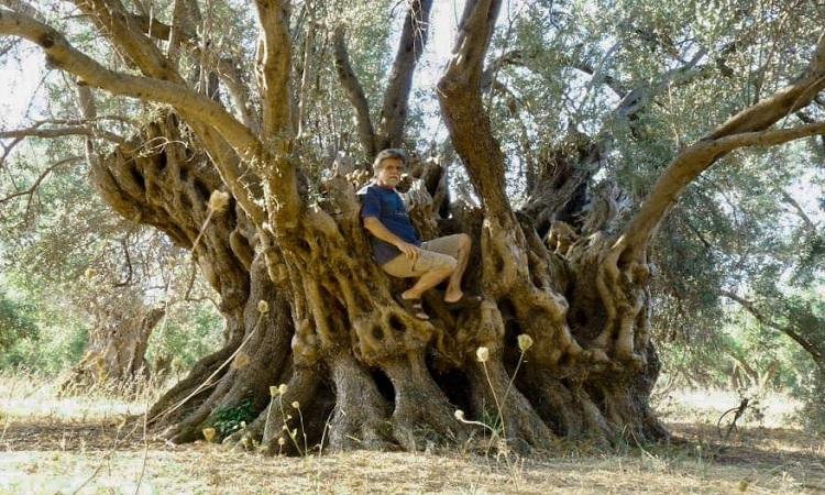 Cây olive với cành lá sum sê trước đám cháy. Ảnh: Apostolis Panagiotou.