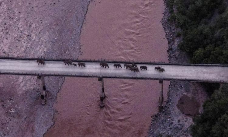 Đàn voi di cư băng qua sông Nguyên Giang ở tỉnh Vân Nam, tây nam Trung Quốc, hôm 8/8. Ảnh: Xinhua.