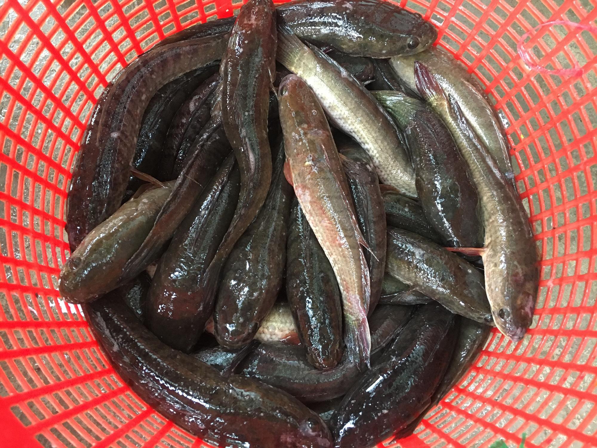 Cá lóc được nông dân huyện Hồng Ngự, tỉnh Đồng Tháp kéo lưới lên chuẩn bị đưa đi bán sau 6 tháng nuôi. Ảnh: Ngọc Tài