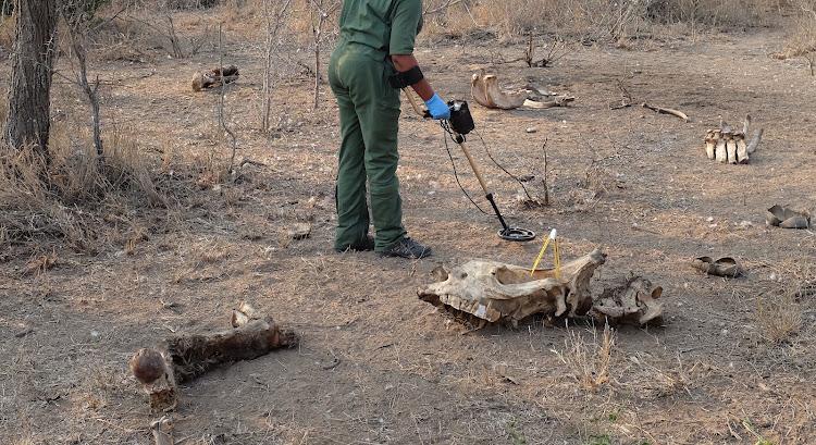 Cảnh sát Nam Phi sử dụng máy dò kim loại để tìm kiếm viên đạn của kẻ săn trộm tại hiện trường săn bắn trộm tê giác ở Công viên Quốc gia Kruger. Ảnh: Sunday Times South Africa