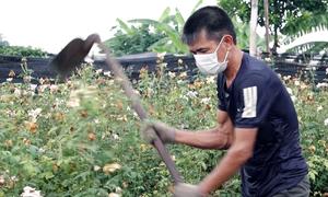 Phá bỏ ruộng hoa không bán được vì dịch