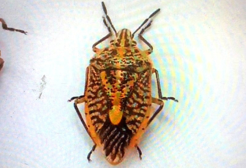Loài bọ xít gây độc Ảnh: Bệnh viện Bạch Mai