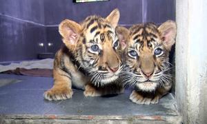 Chăm sóc 7 hổ con Đông Dương sau giải cứu