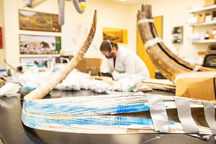 Mặt cắt một chiếc ngà hóa thạch của voi ma mút lông mượt sống cách đây 17.000 năm. Ảnh: Reuters
