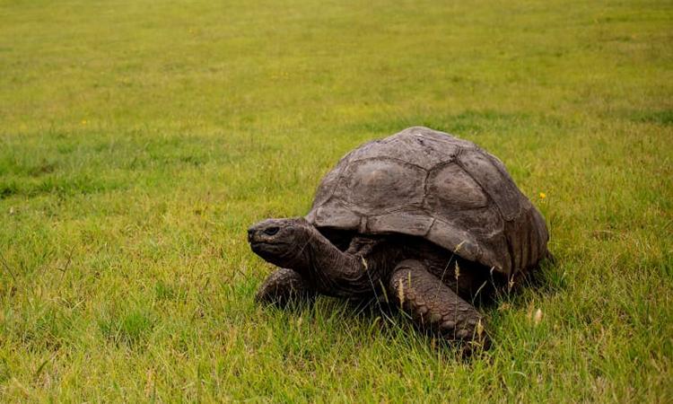Rùa khổng lồ tên Jonathan hiện là động vật sống lớn tuổi nhất trên cạn. Ảnh: AFP.