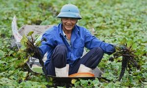 Thủ phủ trồng ấu Thanh Hóa vào mùa thu hoạch