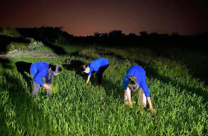 Các tình nguyện viên dùng đèn xe máy chiếu sáng để thu hoạch rau muống giúp bà con nông dân xã Tích Giang. Ảnh: Nhân vật cung cấp.