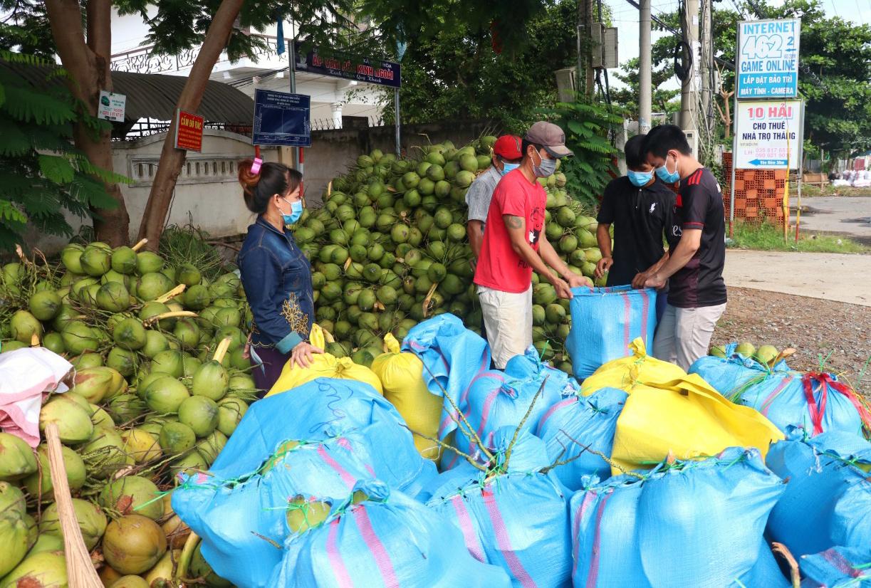 Thương lái thu mua dừa tại xã Bình Hòa, huyện Giồng Trôm sáng 19/8. Ảnh: Hoàng Nam