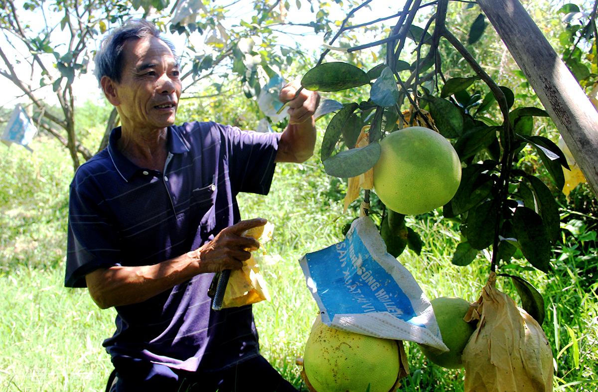 Ông Việt để bưởi lại trên cây, chờ khi hết dịch sẽ hái bán với mong muốn được giá cao hơn. Ảnh: Đức Hùng