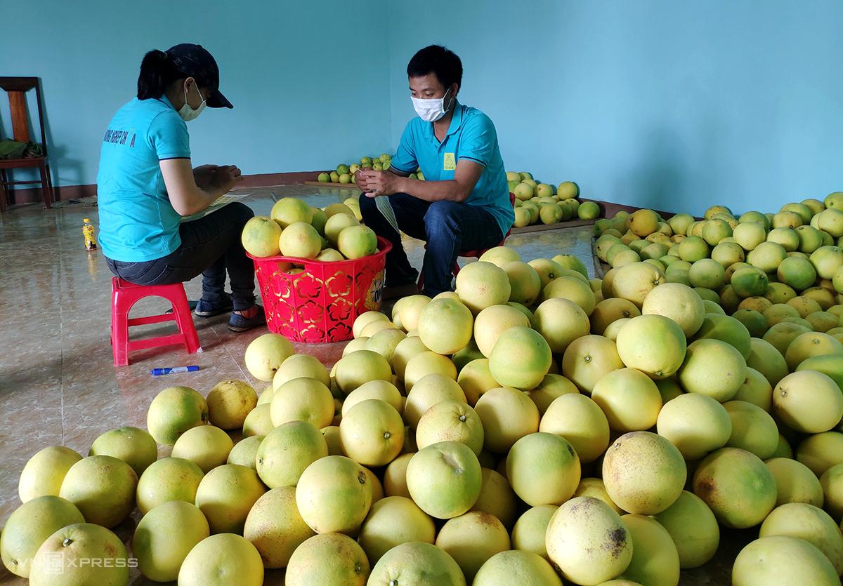 Một số hợp tác xã trên địa bàn huyện Hương Khê hái bưởi vào dán nhãn, để sắp tới đưa lên sàn thương mại điện tử tiêu thụ. Ảnh: Đức Hùng