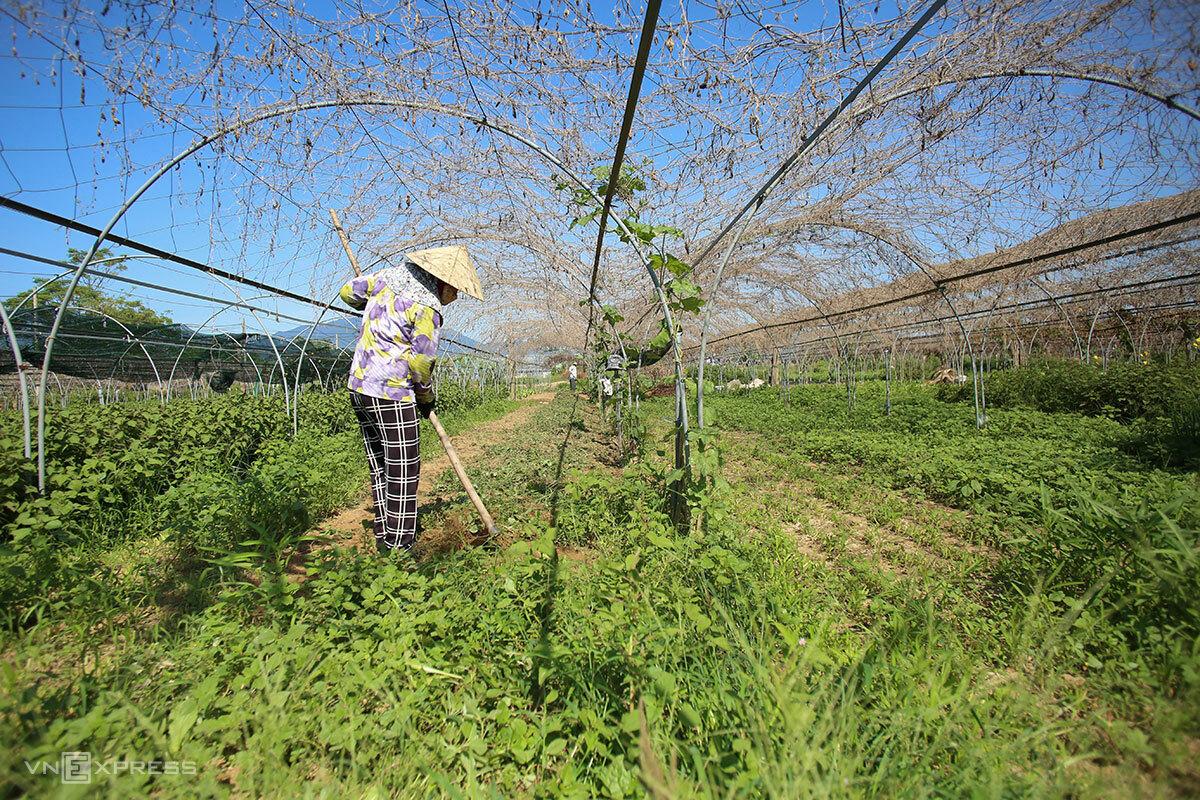 Bà Trần Thị Ánh làm cỏ tại vườn rau, sáng 23/8. Ảnh: Nguyễn Đông.